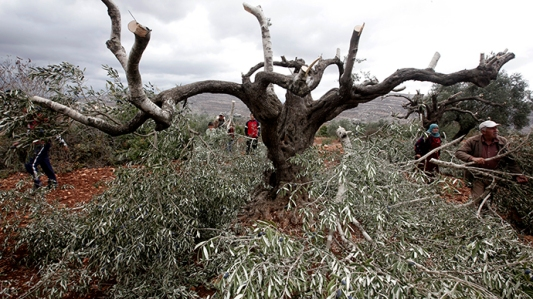 palestine olive trees  October 19, 2013. (AFP Photo / Jaafar Ashtiyeh)